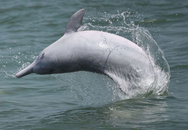 Acoustical Consulting Experts, Monitoring For Chinese White Dolphins, Indo-Pacific Finless Porpoises